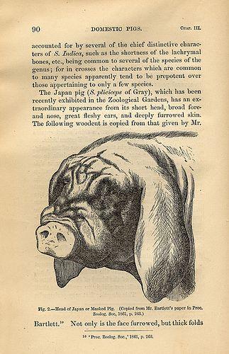 Pig   CHARLES ROBERT DARWIN   Robert darwin, Charles darwin