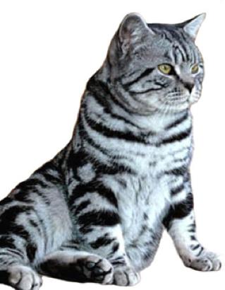Cute Cat Breed British Shorthair Tabby Animaux