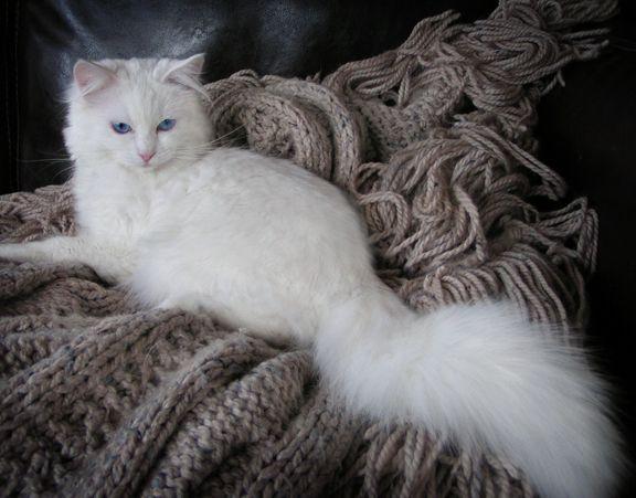 Ragdoll Cats And Kittens Colorado Colorado Ragdoll Cats Cats Cats And Kittens Ragdoll Cat
