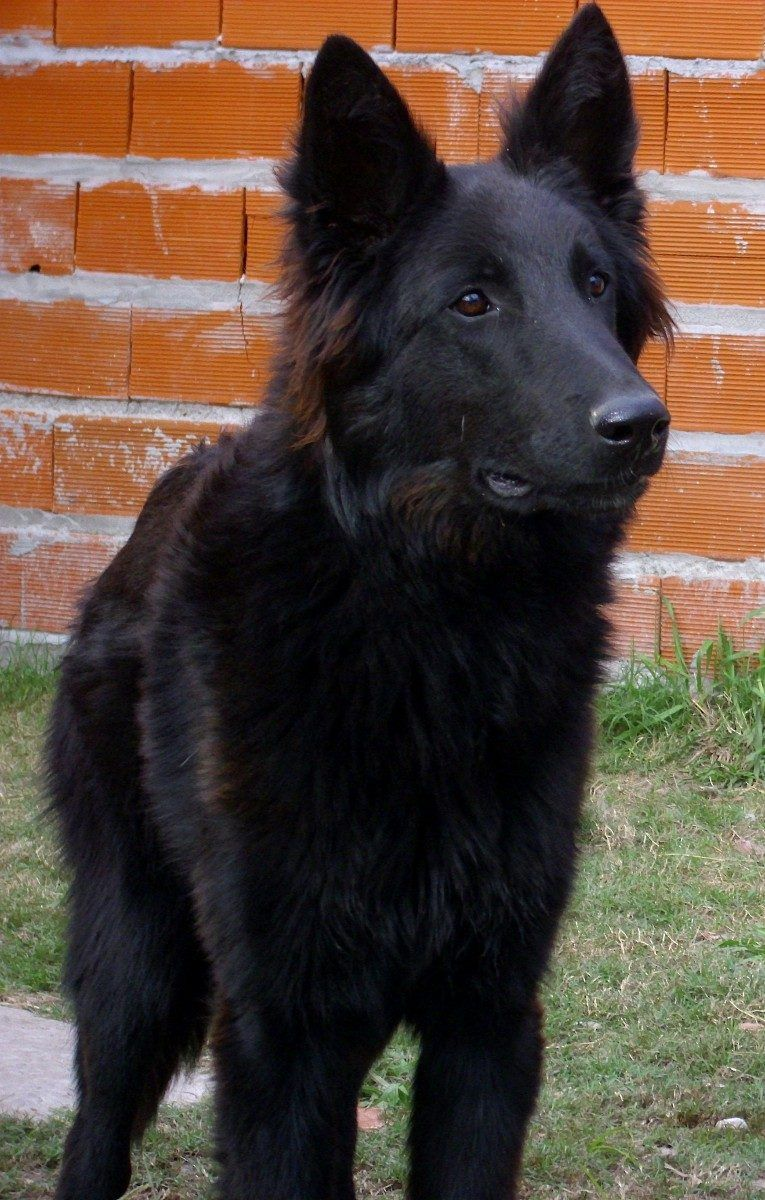Groenendael Black Belgian Shepherd Black German Shepherd Dog