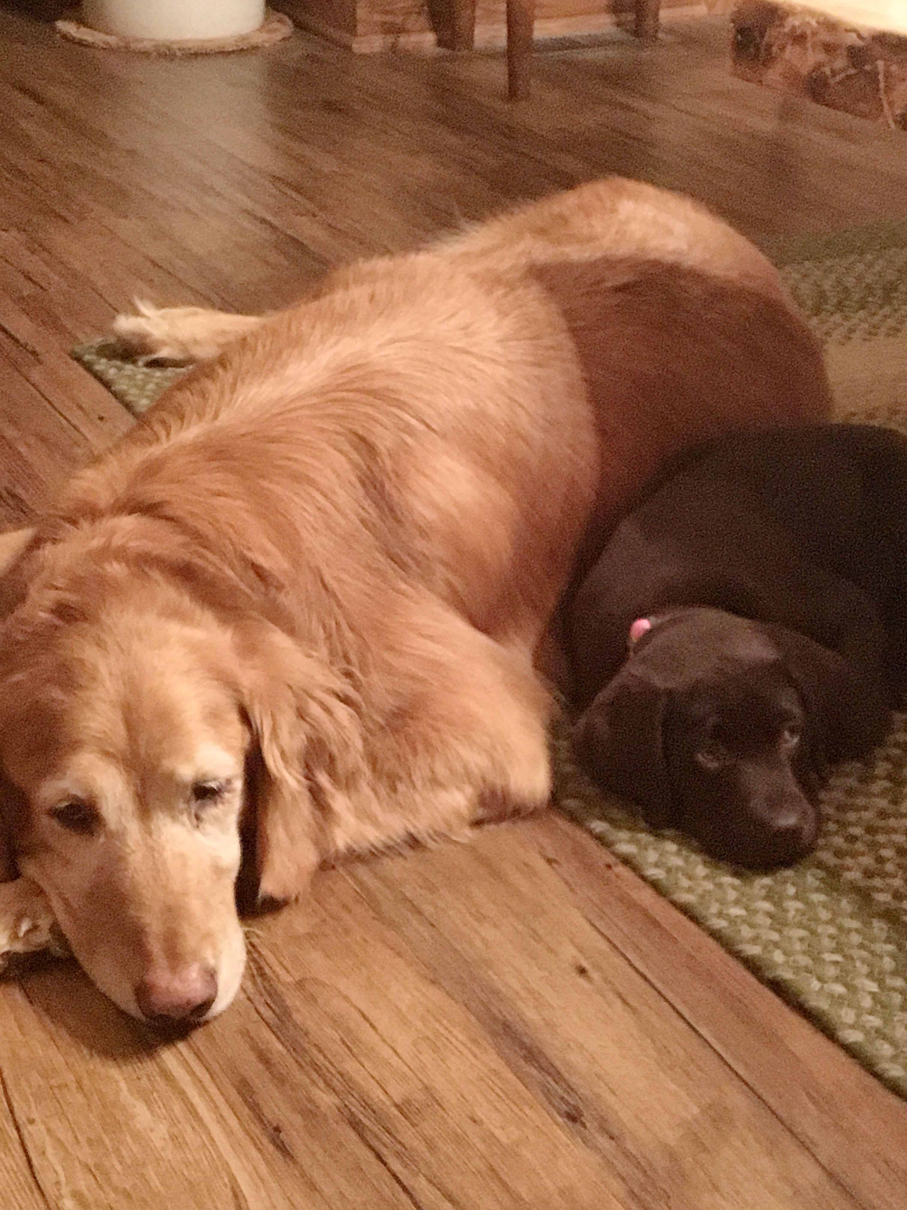 Buddies dog breeds labrador retriever dogs