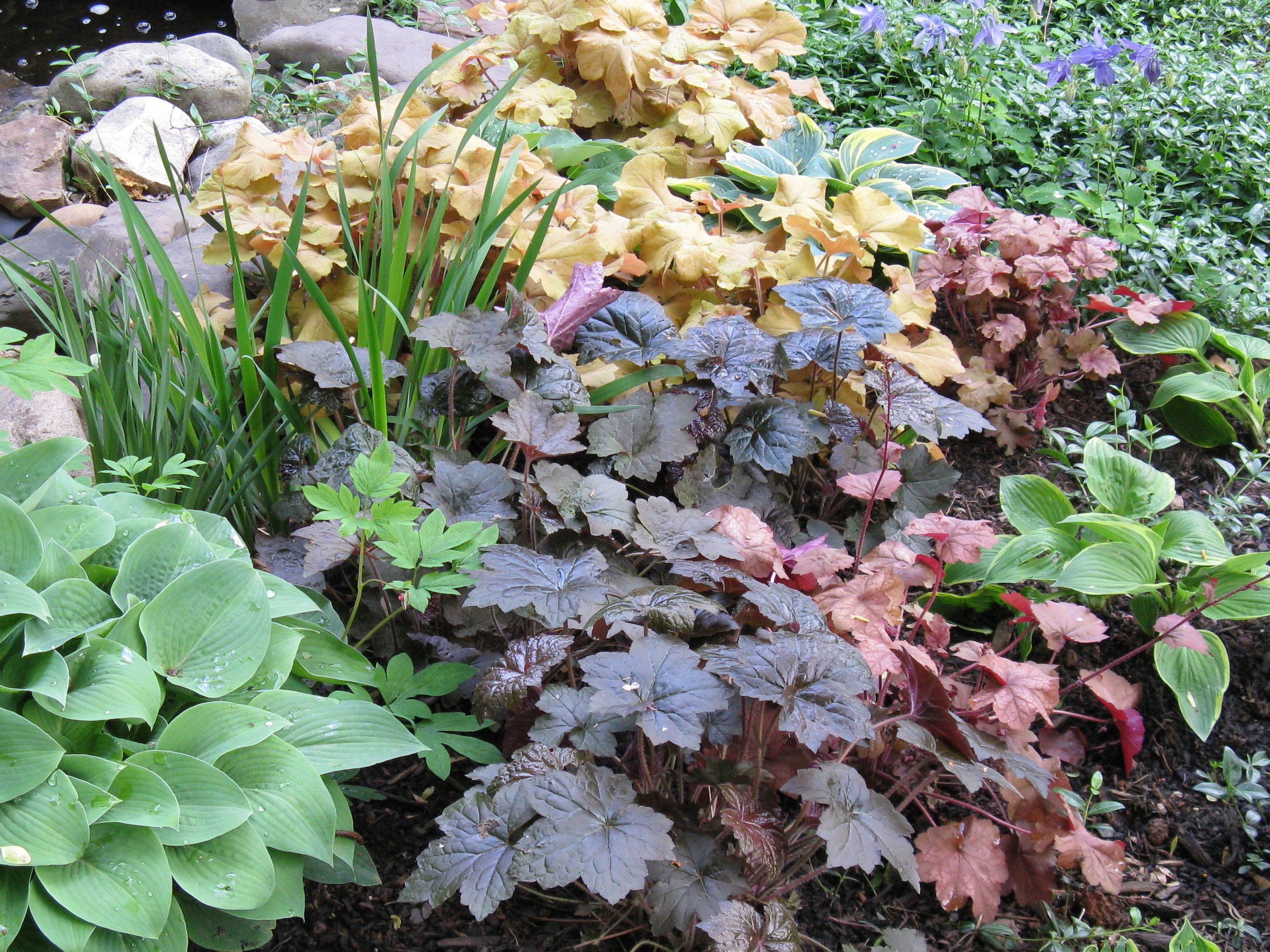 Coral Bells (Heuchera) And Hosta