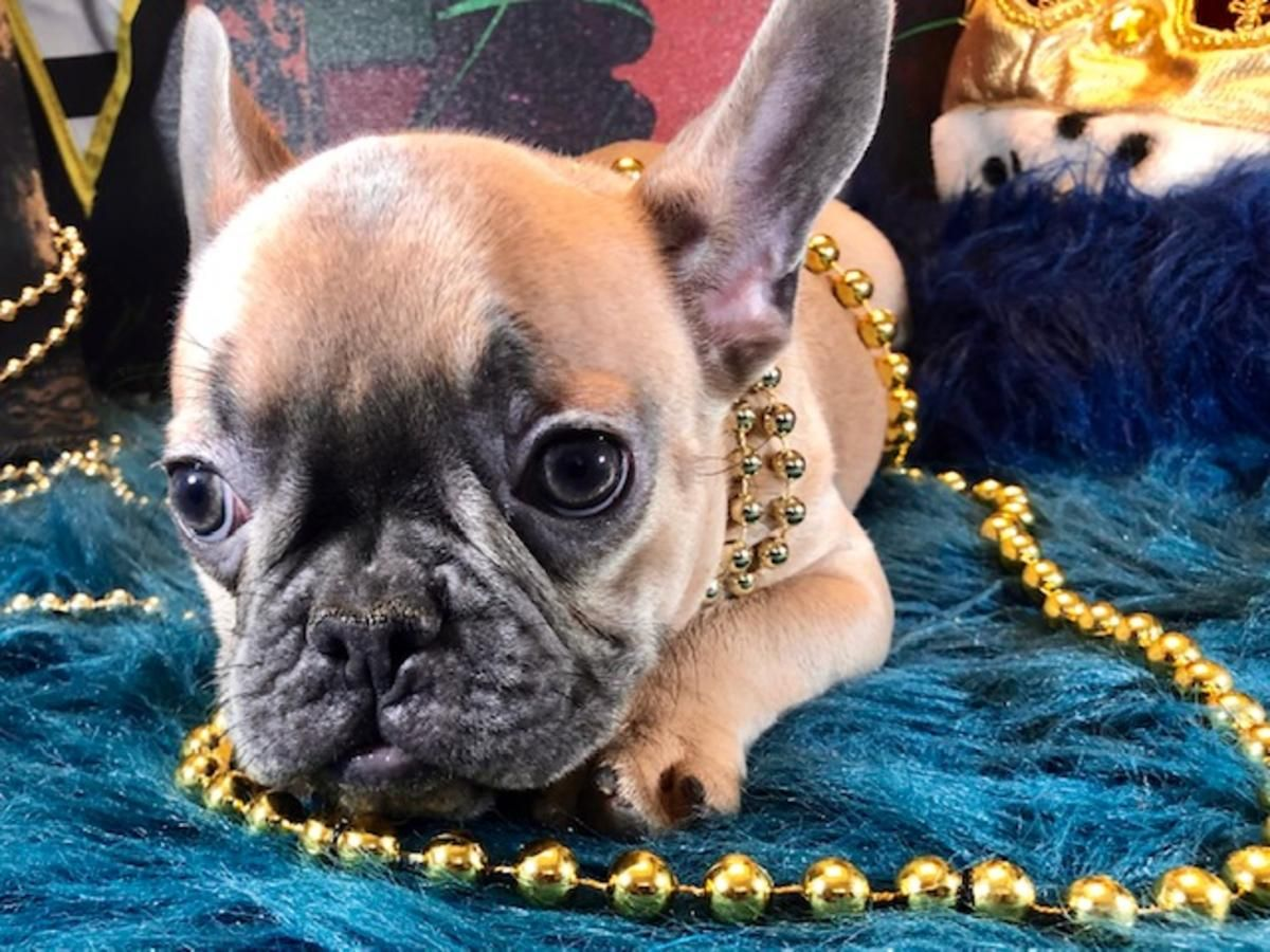 French Bulldog Male Ready Now Iggy Royalcrownfrenchies Com