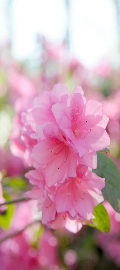 Azalea Blumen Wiese Blumen Blumen Bluten