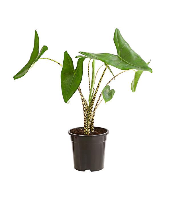 Elefantenohr Alokasie Dehner Elefantenohren Pflanzen Aronstabgewachse