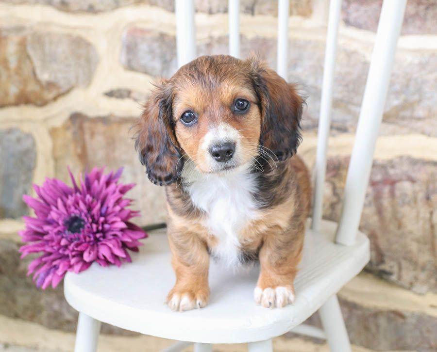 Pin On Dachshund Pupppies