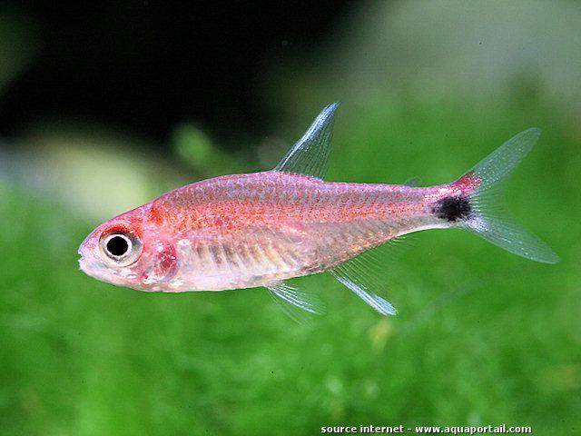 Axelrodia Stigmatias Tetra Poivre Tropical Fish Aquarium Freshwater Aquarium Fish Tetra Fish