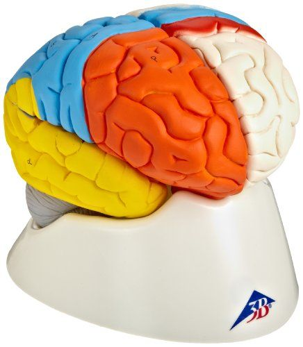 "3B Scientific C22 8 Part Neuro-Anatomical Brain Model, 5.5"" X 5.5"" X 6.9"", 2015 Amazon Top Rated Anatomical Models #BISS"