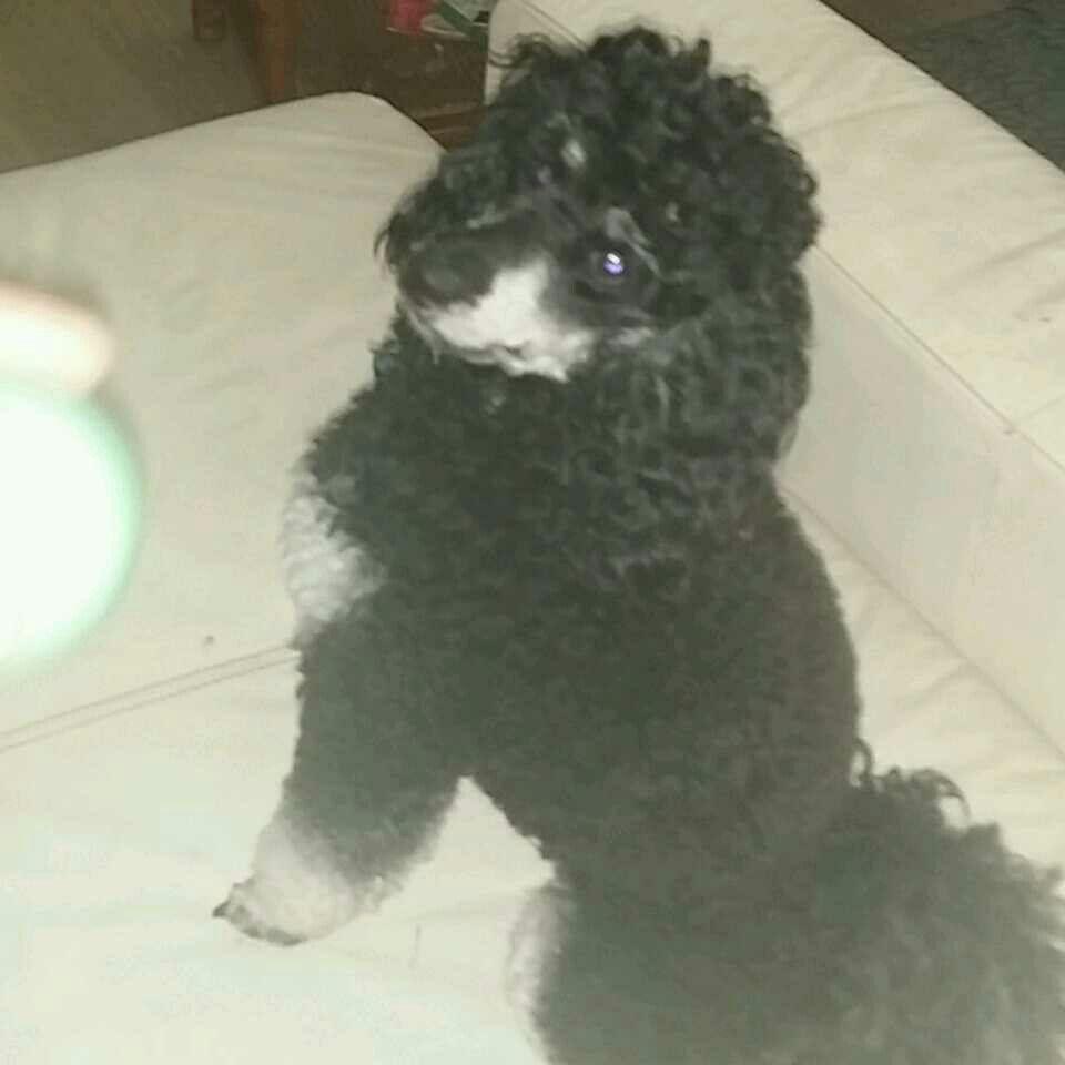 Dexter The Cutest Phantom Eva Poodle Puppy Phantom Poodle