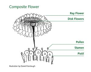 Detailed labeled diagram of sunflower sunflowers diagram and school detailed labeled diagram of sunflower ccuart