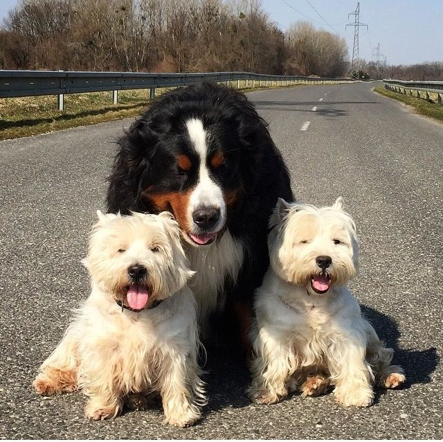 Pin By Tonya Larson Dietrich On Bernese Mountain Dogs Really Cute Dogs Dogs Cute Dogs