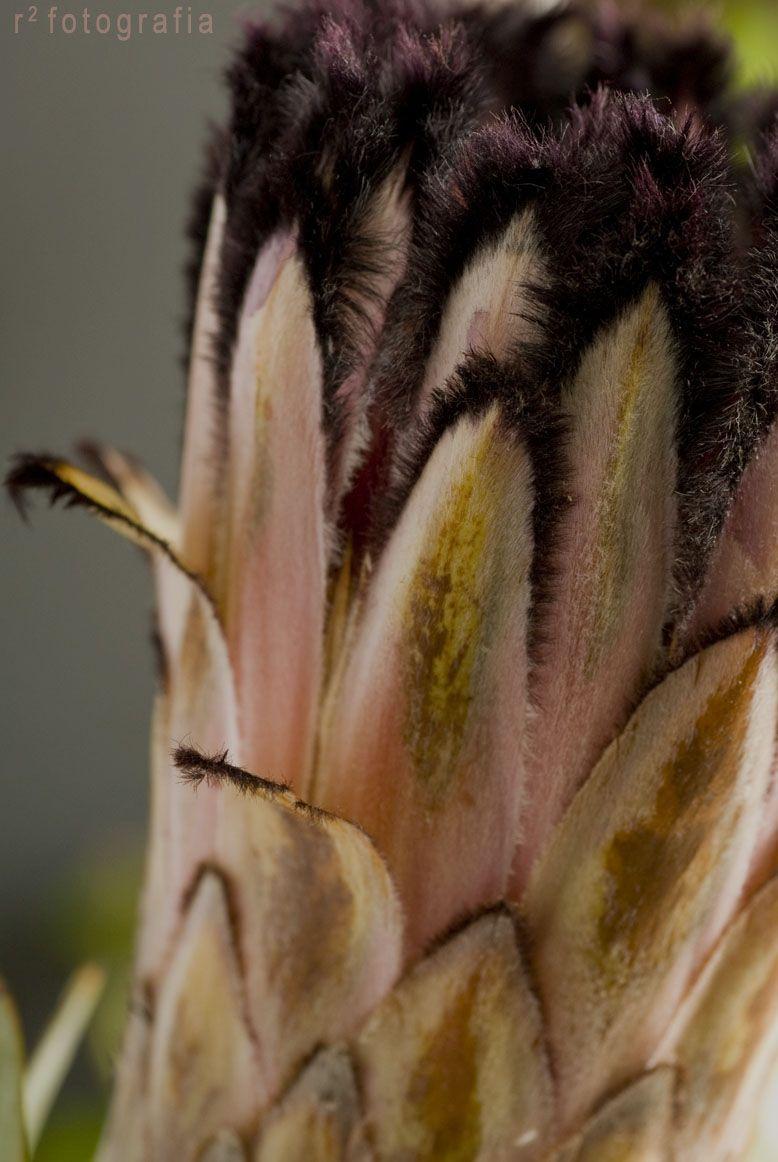 I think this is Beautiful Pink Fur Protea Petals