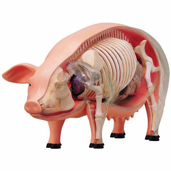 Pig Skeleton Anatomy Model Products I Love Pinterest Skeleton