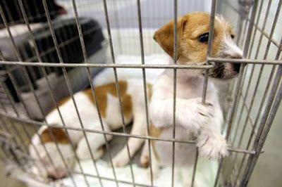 AVANGUARDIA NAZIONALE BERGAMO: In aumento i cani usati per le sperimentazioni da ...