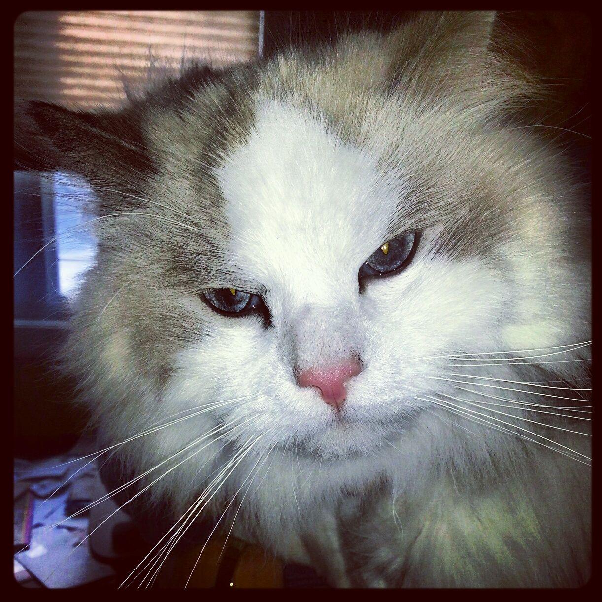 My Gmas kitty  The Cuteness  Pinterest  Kitty