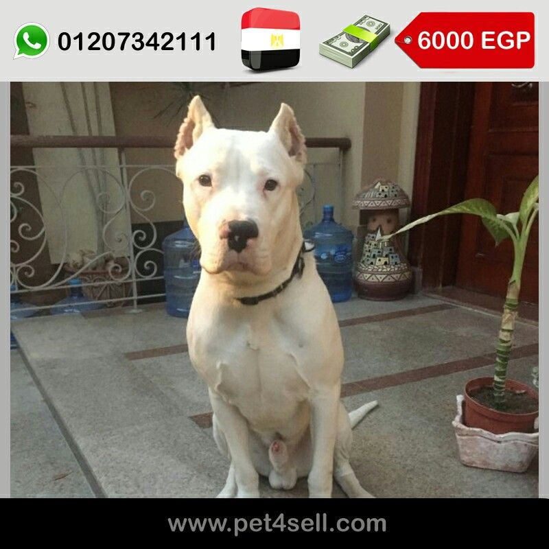 Egypt Cairo Dogo Argentino Male 1 Year Old The Dog Has A Very