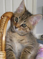 Roo Is An Adoptable Tabby Brown Cat In Douglasville Ga Meet Roo He And His Siblings Were Rescued While Snap Raining Cats And Dogs Cats And Kittens Kittens