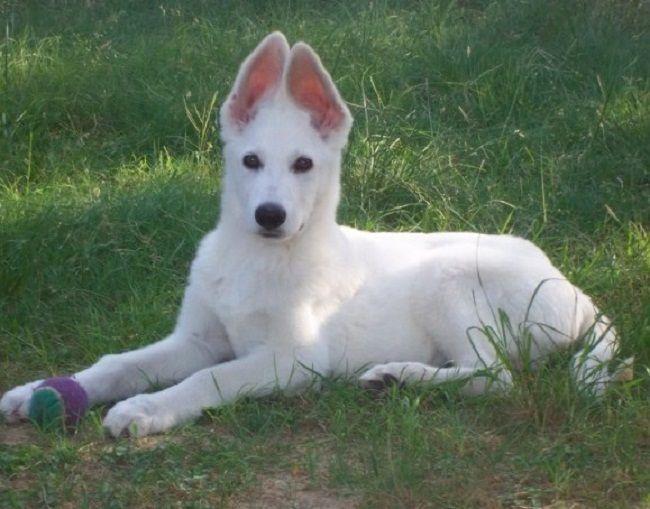 White German Shepherd Puppies Oregon Zoe Fans Blog Cute Baby