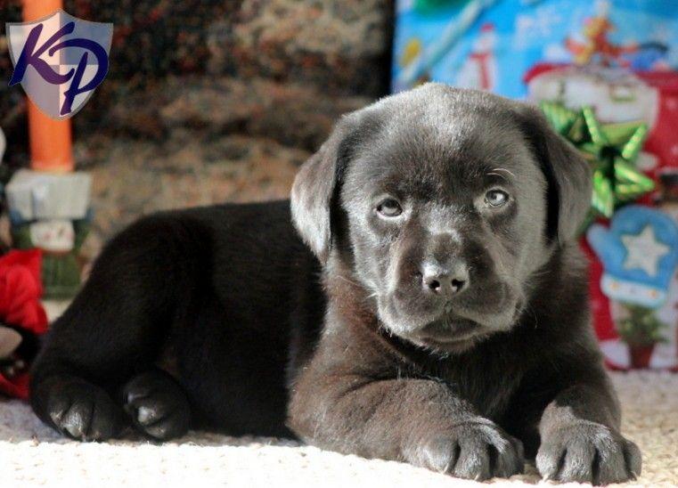 Popular Labrador Retriever Black Adorable Dog - 9da0a1cfd12f03215178e79040e940c8  Pic_33913  .jpg