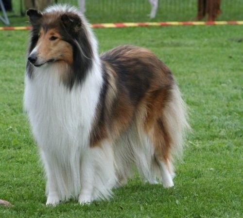 Classic Collie Love Them All H Rough Collie Collie Dog Dog Breeds