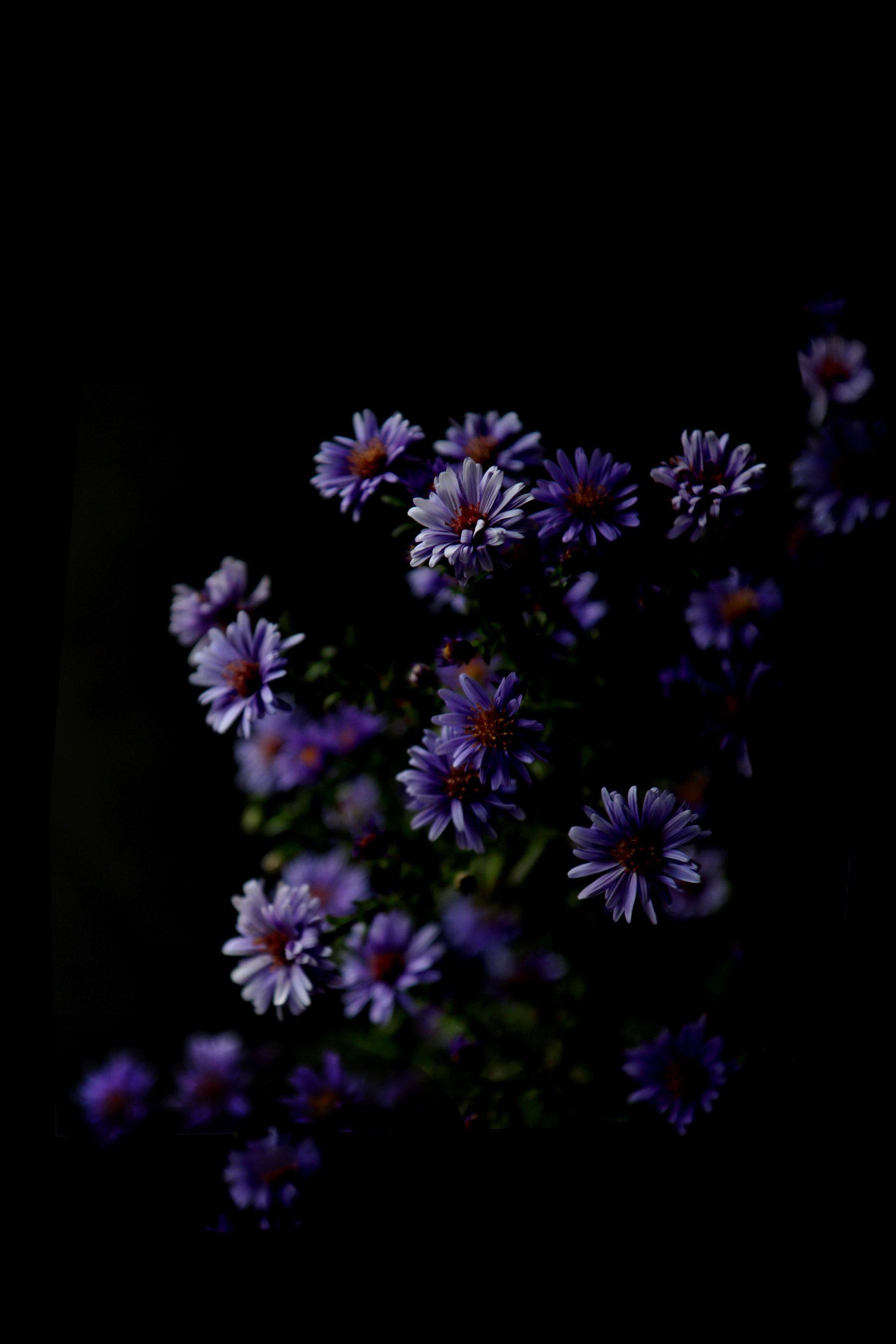 Asters Still Mary Jo Hoffman Flower Background Wallpaper Dark Flowers Black Background Wallpaper