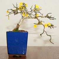 Winter Jasmine Bonsai Tree Jasminum Nudiflorum Bonsai Tree Winter Jasmine Bonsai
