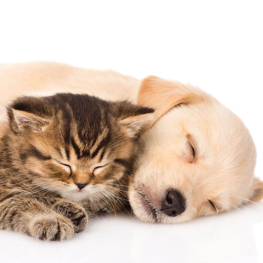 Birthday Celebration Card Yellow Labrador Dog Puppy Amp Kitten Fast Freepost Cute Puppies And Kittens Kittens And Puppies Cat Sleeping