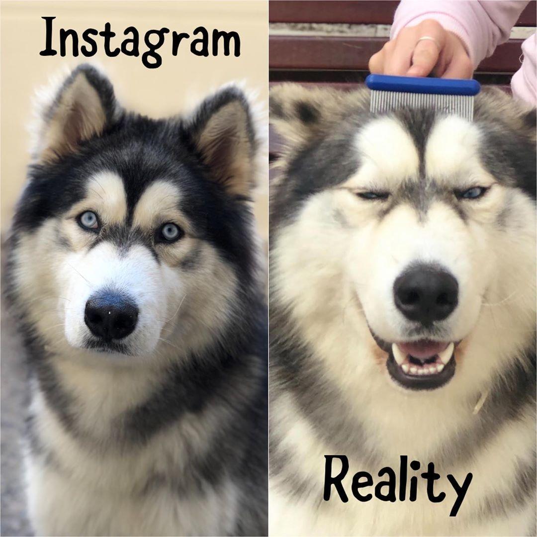 Instagram Vs Reality Memesgraciosos Memedogs Alaskanmalamute Bestoftheday Photos4ellen Alaskalife Alaskapuppy Al Alaskan Malamute Instagram Dogs