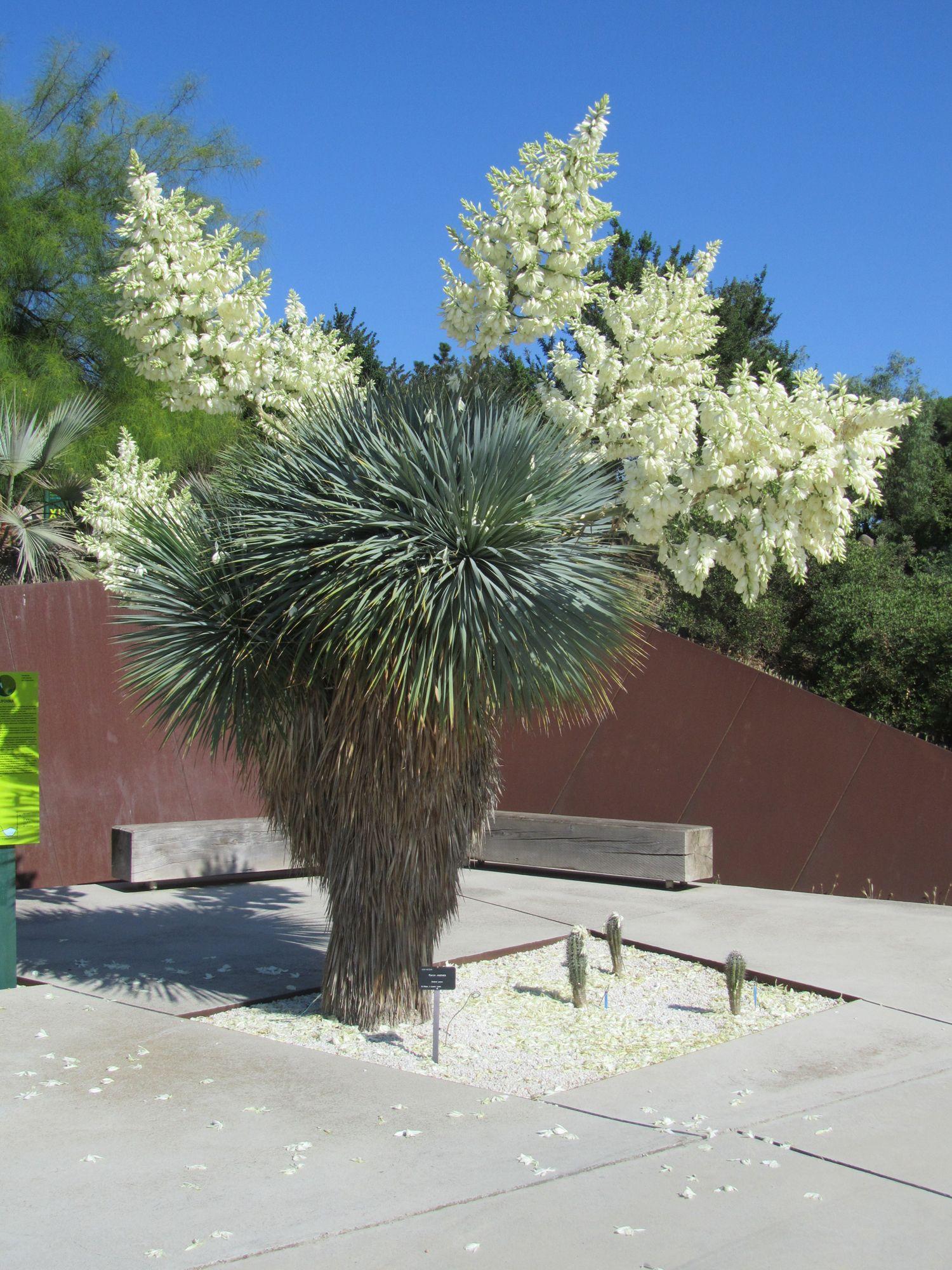 Yucca Rostrata Jardi Botanic De Barcelona Cactus Pinterest