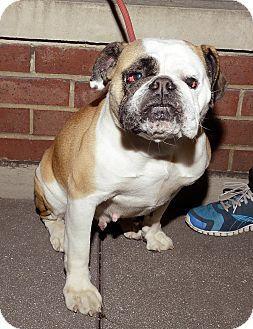 English Bulldog Matilda Http Www Adoptapet Com Pet 8298660 New