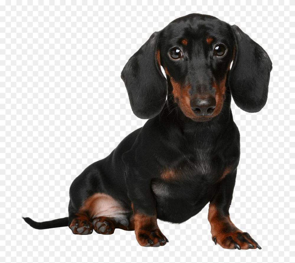 Free Pictures Of Weiner Dogs