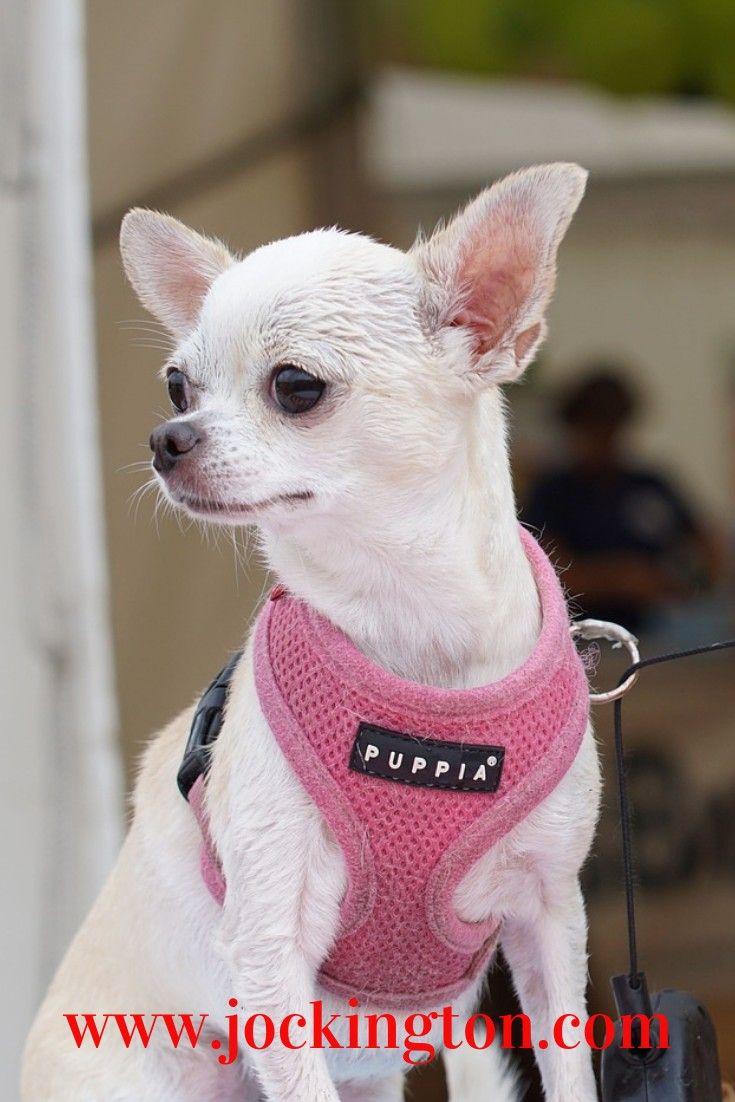Chihuahua Dogs Pets Animals Pets Puppies Australian Sherped