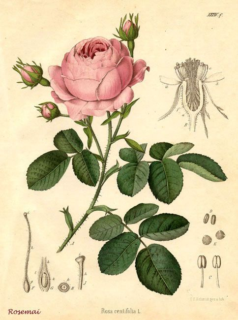 Jolie planche botanique c t jardin botanique illustration botanique et dessins botaniques - Dessin de rosier ...