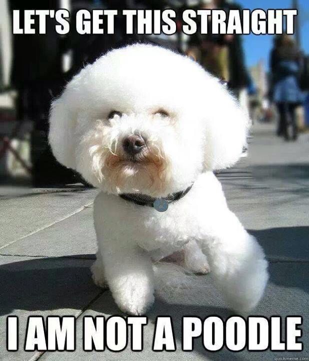 Let S Get This Straight I Am Not A Poodle Bichon Frise Puppy