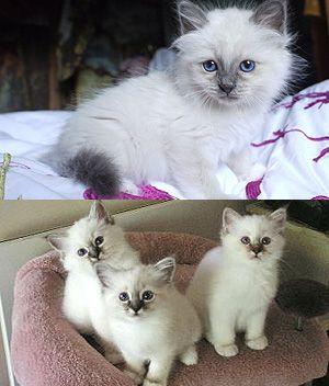 Birman Price Personality Lifespan All Cat Breeds Birman Kittens Cute Animals