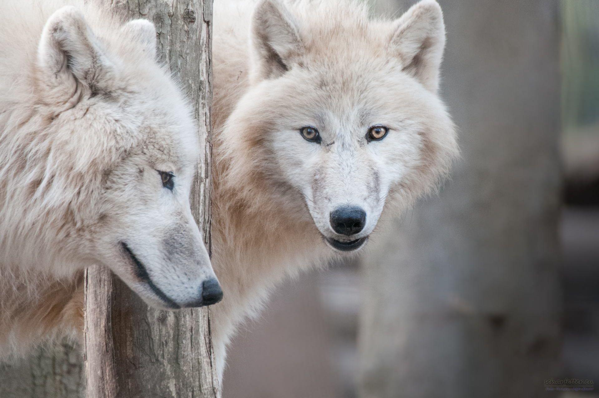 Wolf by Ernst Scharfetter on 500px