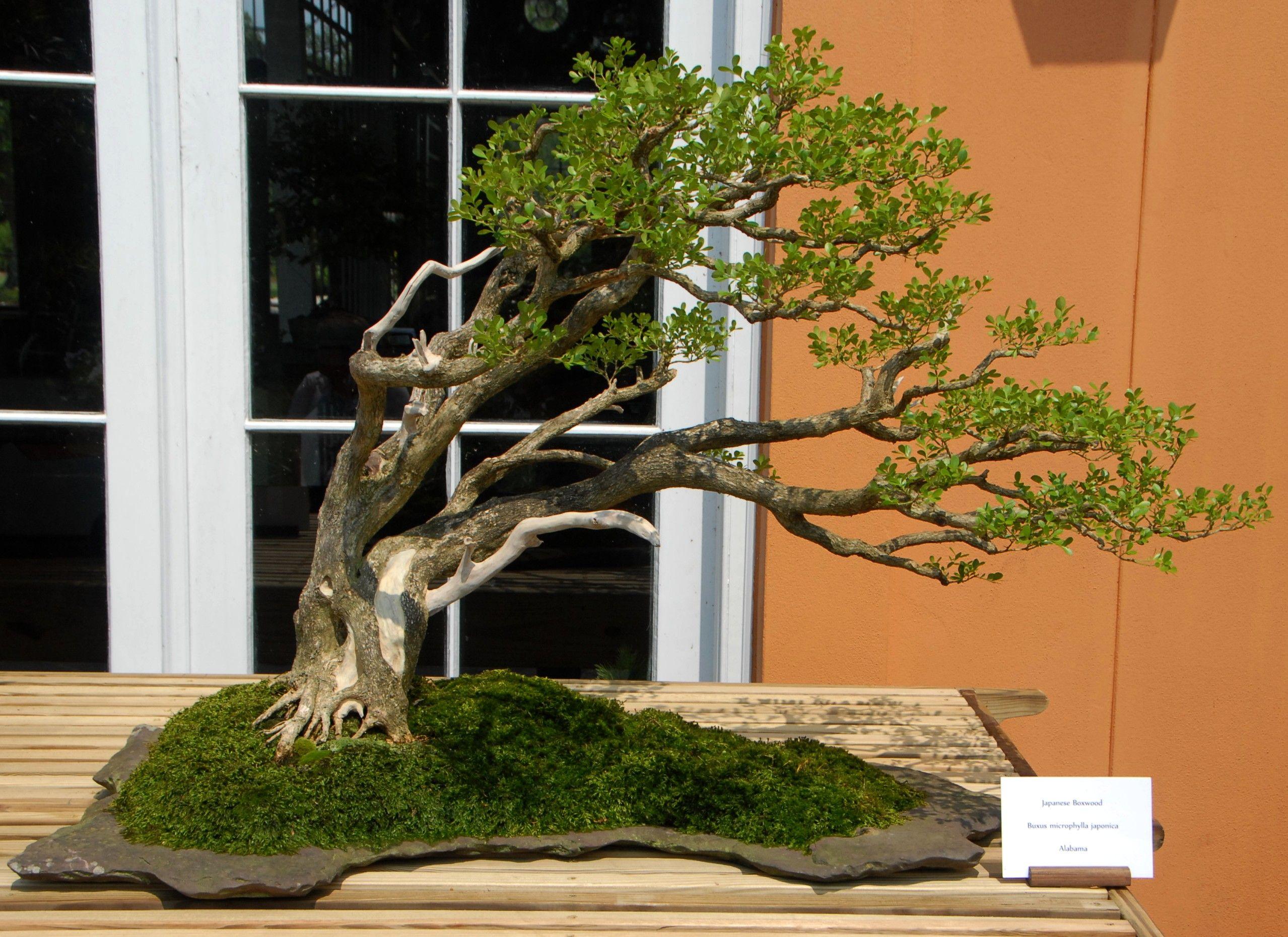 Bonsai Tree Care Boxwood Bonsai Tree