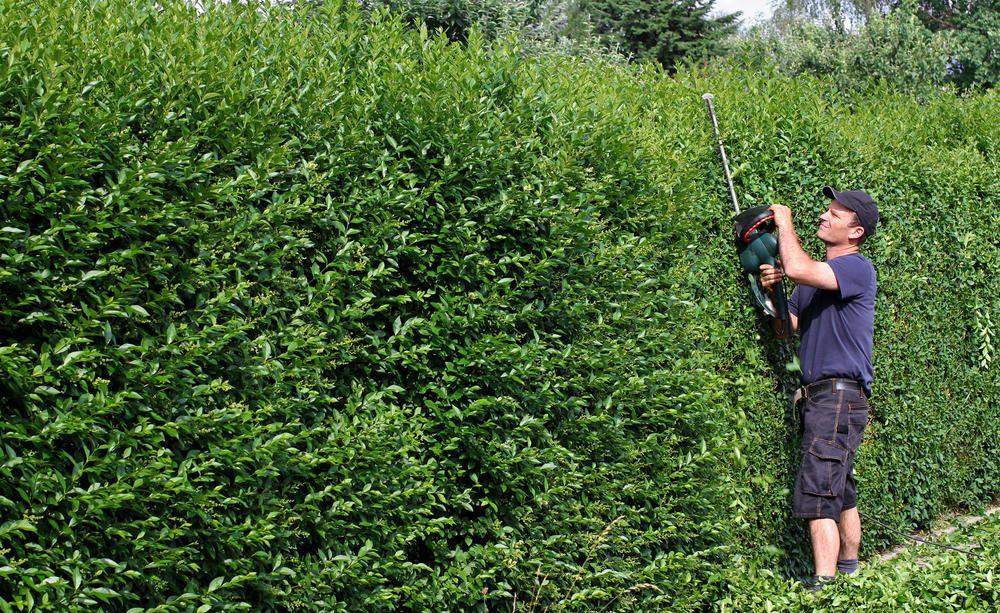 Schneller Sichtschutz mit Hecken Liguster, Naturzaun und