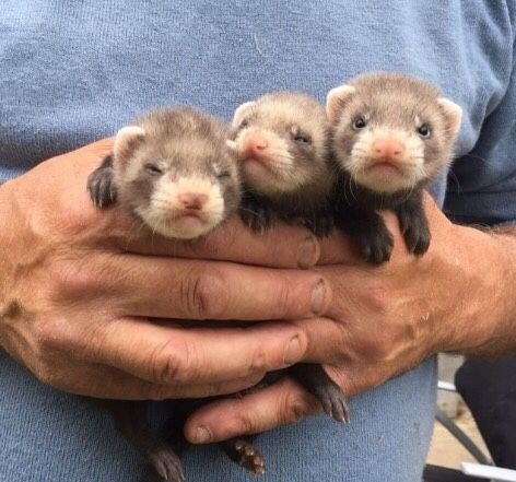 Tell Me When The Spaceship Lands Cute Ferrets Baby Ferrets Pet Ferret