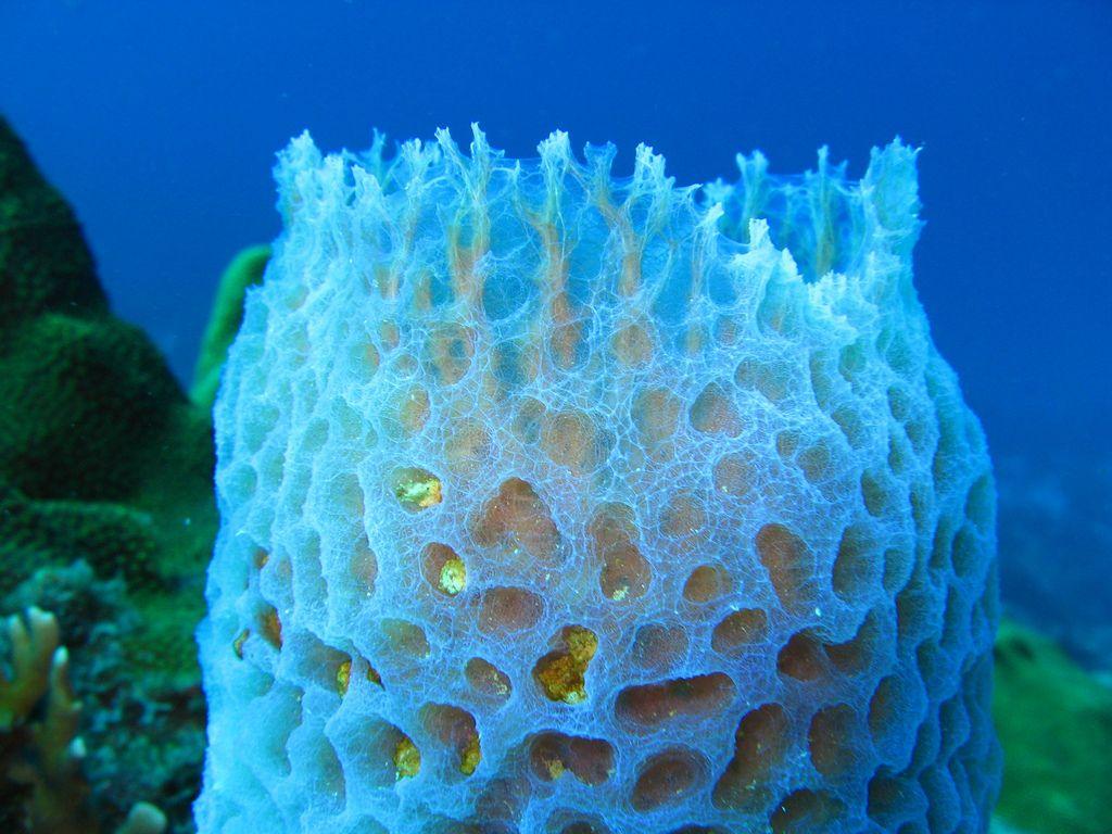 Porifera wallpaper buscar con google phylum porifera animal reviewsmspy