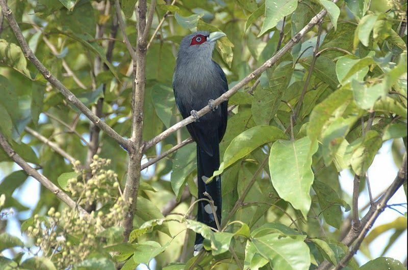 76-black-bellied-malkoha-phaenicophaeus-diardi-by-mamuin.jpg (800×531)