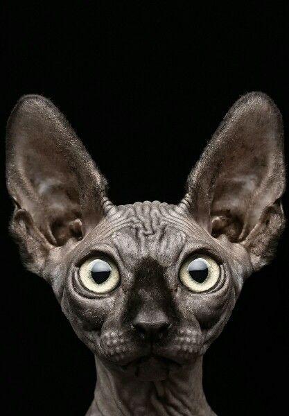 Pin Von Jon Dobrowsky Auf Cats Sphynx Katze Susse Katzen Und