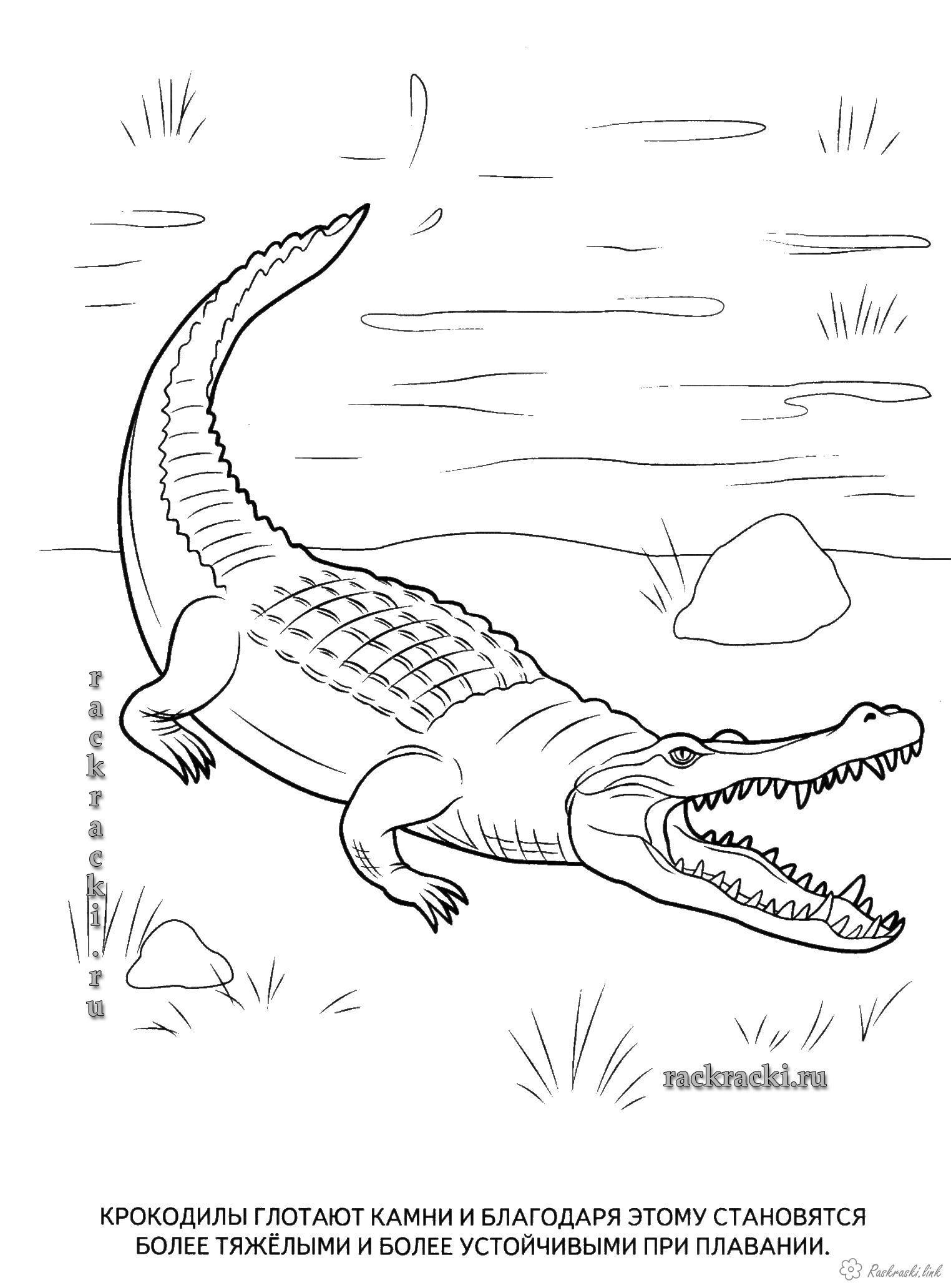 Raskraski Reptilii Detskaya Raskraska Reptilii Krokodil Krokodily Raskraski Reptilii