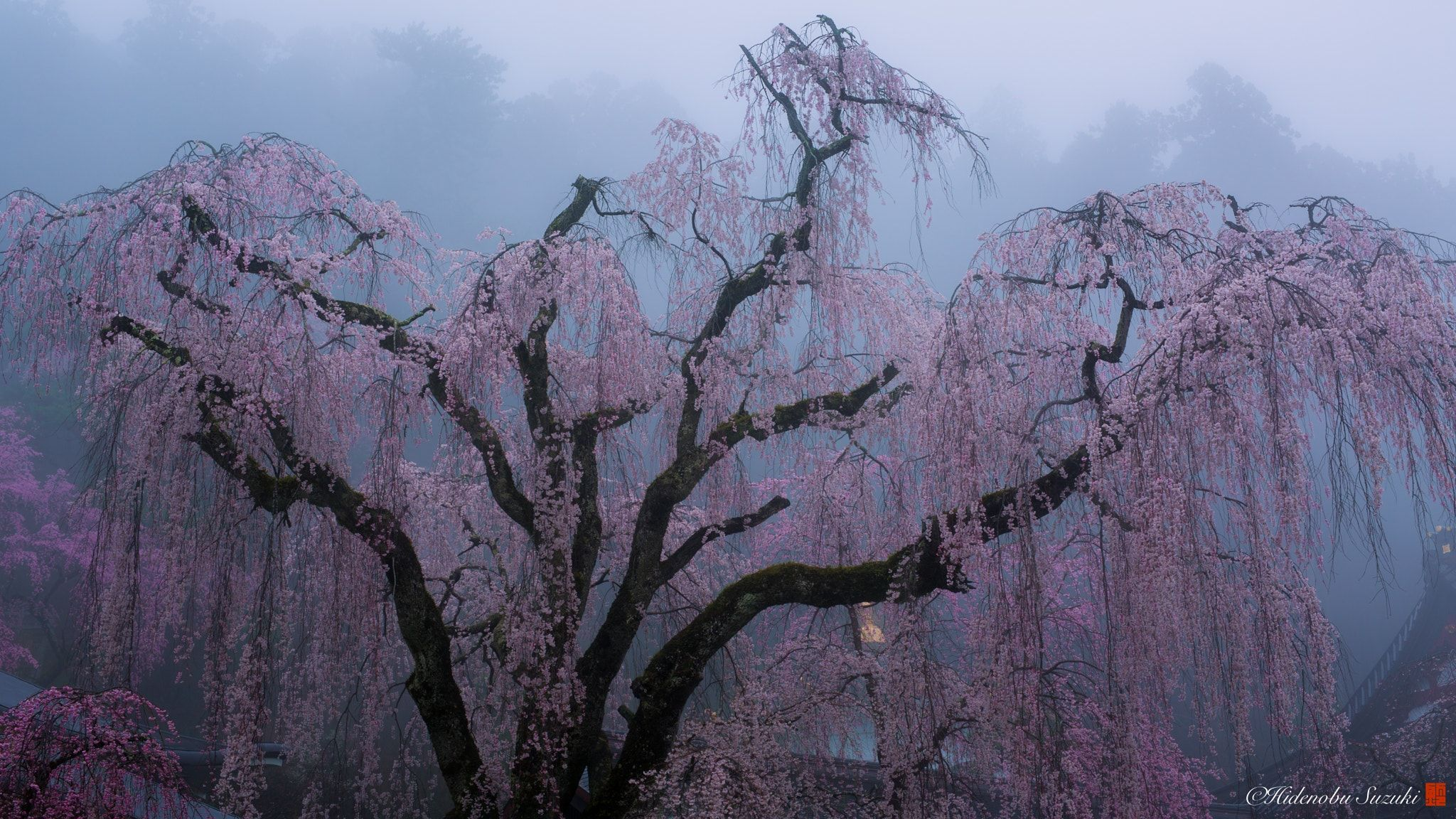 Age Of 400 Years Of Sakura Kuonji Temple That Continues From 1281 Is In Yamanashi Prefecture Of Japan Weeping Cherry Bloss Spring Scenery Sakura Bloom Japan