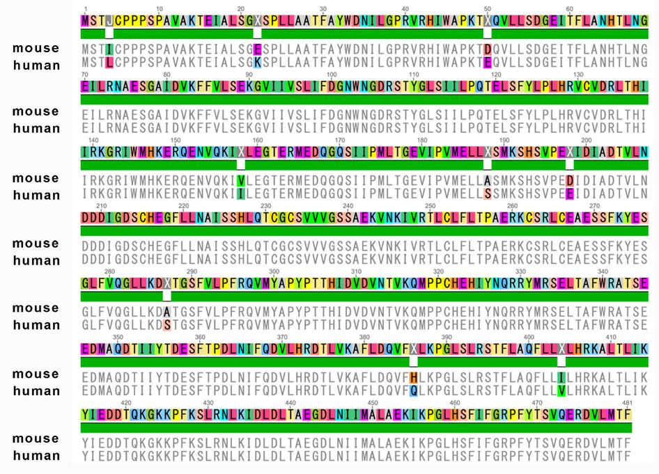 Amino acid sequence of human C9ORF72 and mouse 3110043O21Rik gene - amino acid chart