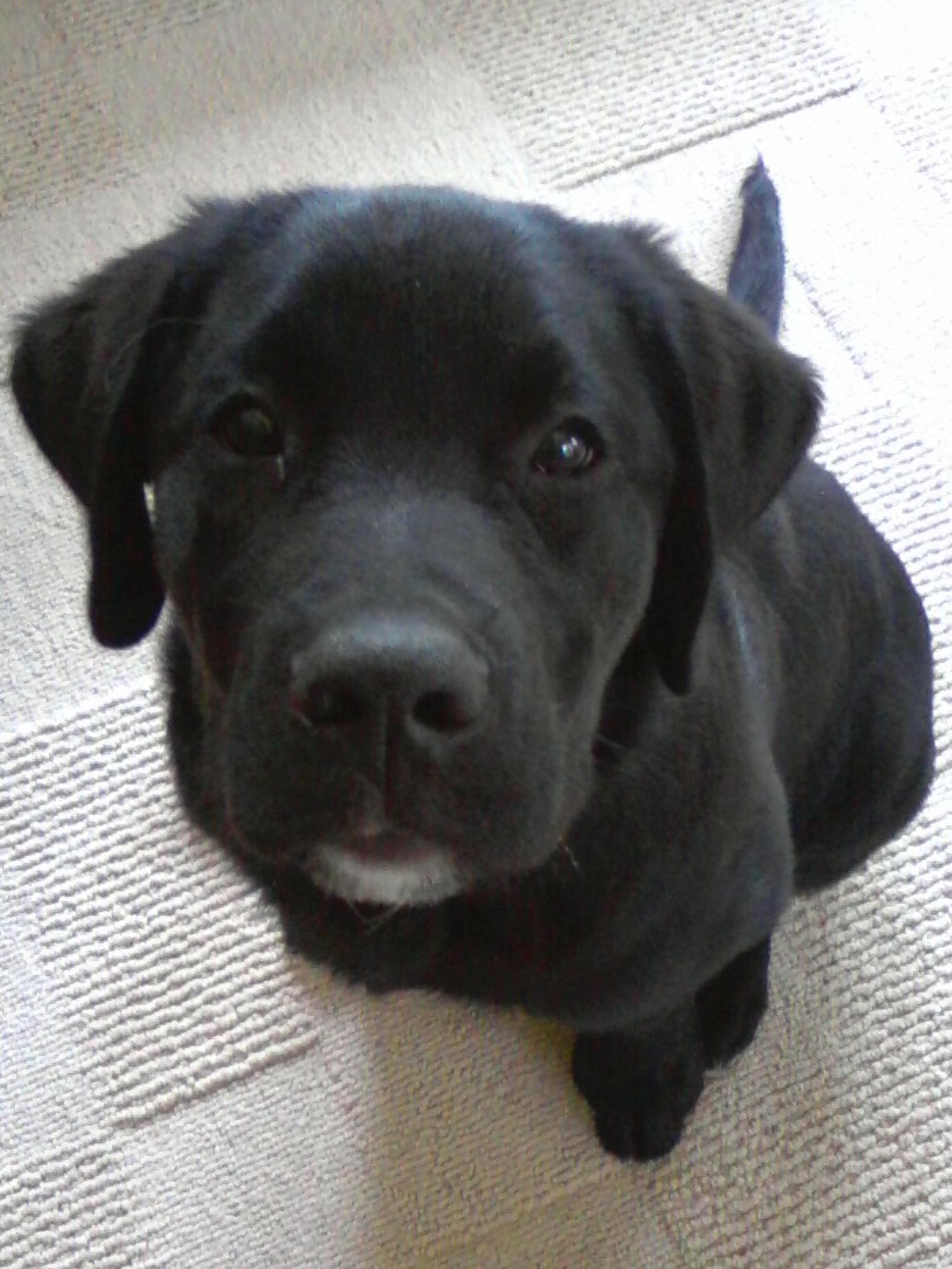 From This To Labrador Retriever Labrador Baby Labrador