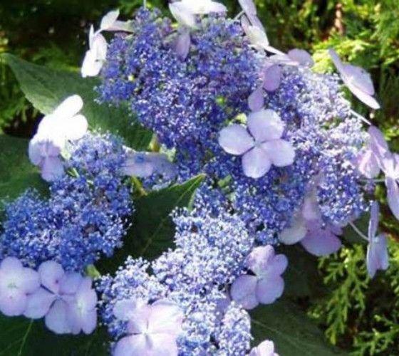 Blue Bird Lacecap Hydrangea Hydrangea Serrata Blue Bird Spectacular Lace Cap Bloom Has A Ring Of Sea Blue Lace Cap Hydrangea Growing Hydrangeas Hydrangea Shade