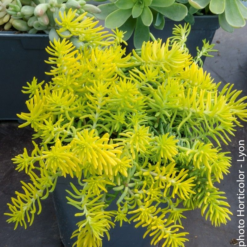 sedum reflexum aureum plante grasse