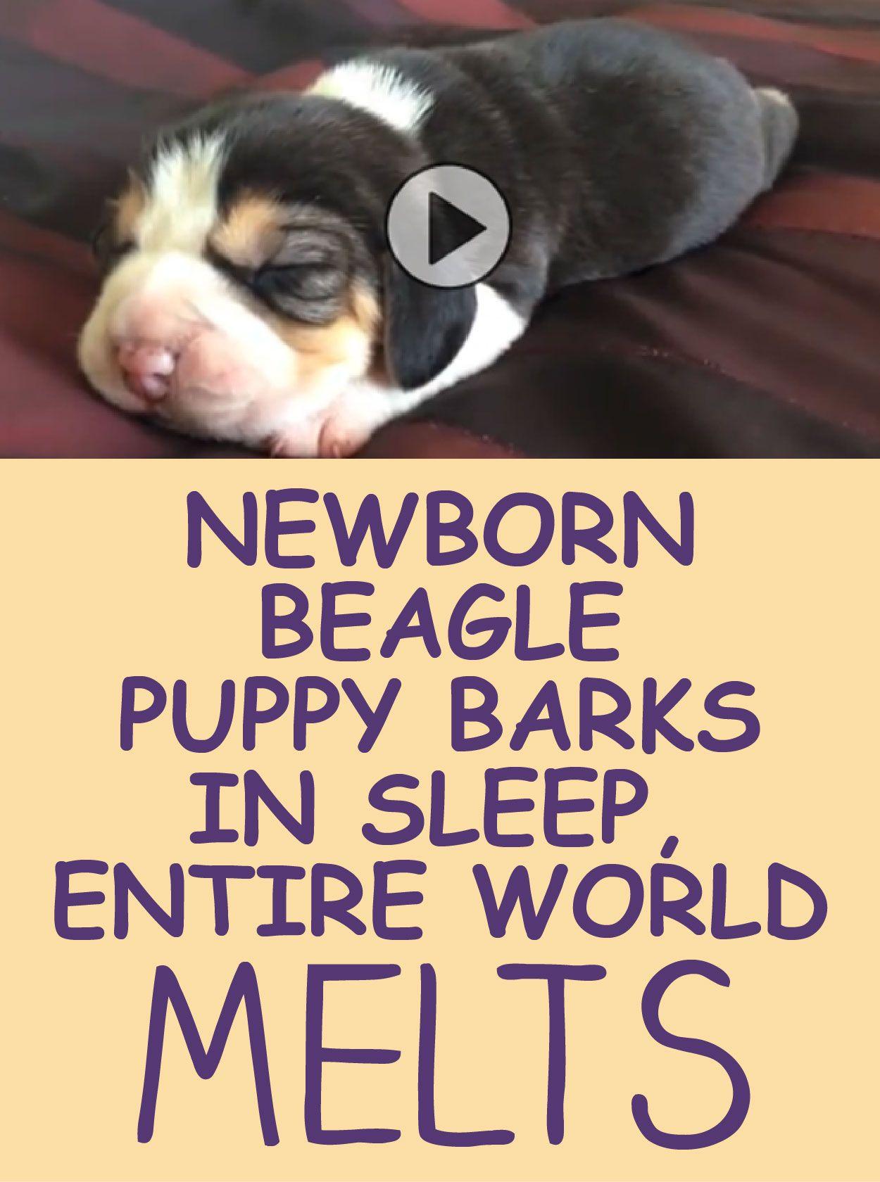 Newborn Beagle Puppy Barks In Sleep Entire World Melts Beagle Puppy Puppy Barking Puppies