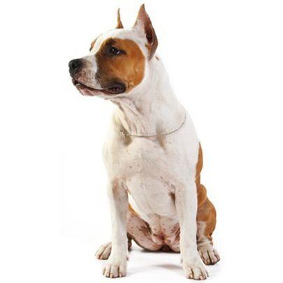 Yankee Terrier Pitbulls Rare Dog Breeds Unique Dog Breeds